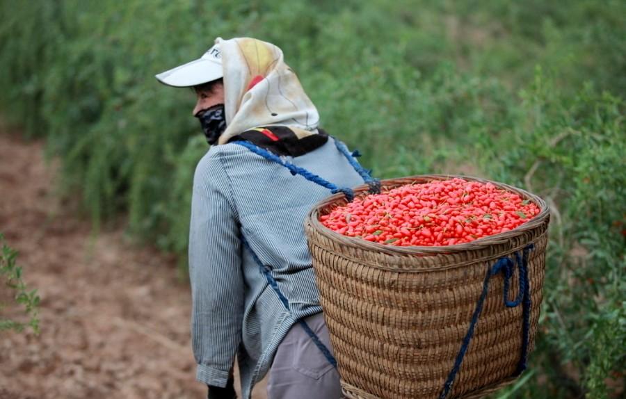 Ягоды годжи выращиваются в провинции 宁夏 Нинся, в районе 中宁县 Чжуннинсян.